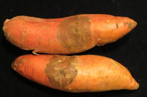 Cover photo for Section 18 Label Renewed in North Carolina for Use of Mertect Postharvest to Control Black Rot of Sweetpotato for Domestic Markets
