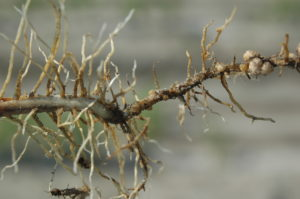 Cover photo for Sample for SCN Now to Preserve Future Soybean Yield Potential