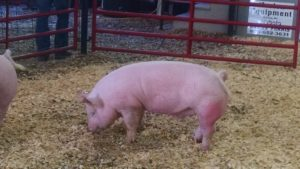 Pig in a barn