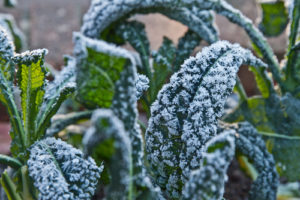 Cover photo for Frost and Freeze Protection for Vegetable Crops