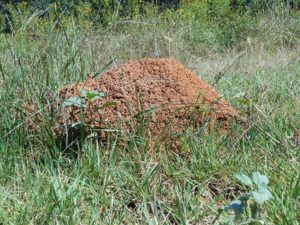 Cover photo for Fire Ants in McDowell County?