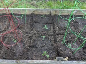 raised bed with young vegetable transplants