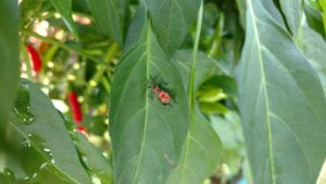 insect on pepper leaf